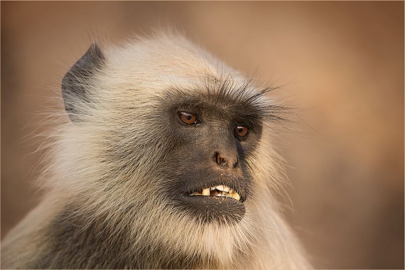 Langur monkey, Ranthambhore by Glynn Grylls Highly Commended Section A