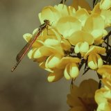 Large Red Damselfly on Gorse by Jeremy Lee-Potter