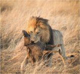 Lion with Warthog by Paul Barrow