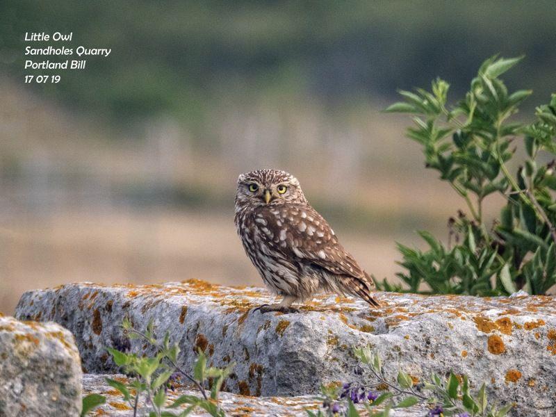 Little Owl  Sandholes Quarry by Penny Piddock
