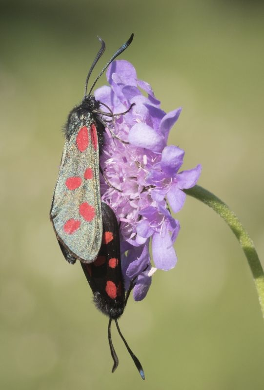 Mating 6-spot Burnet Moth by Frank Schweitzer