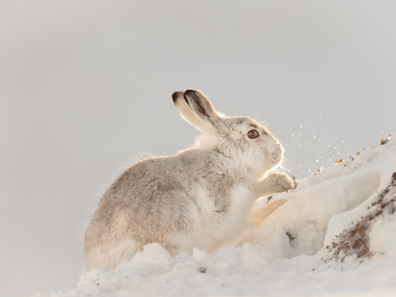 Mountain Hare - Scraping the Snow Away by Iain Friend
