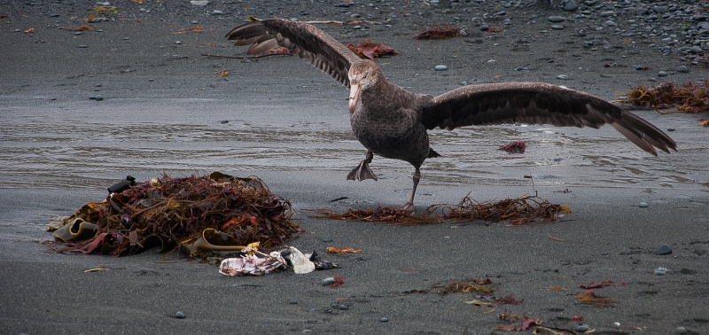 Northern Giant Petrel Aukland Island by Paul Wiley