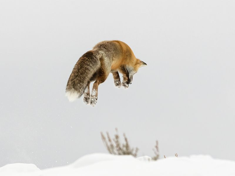 Red Fox jumping for prey by Stephen Lee Highly Commended Section A