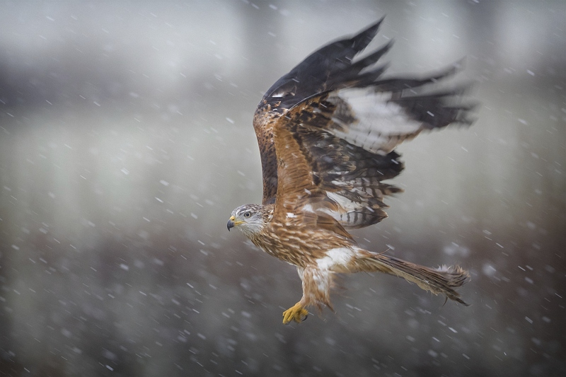 Red Kite in the Snow by Tim Downton, Highly Commended Section A