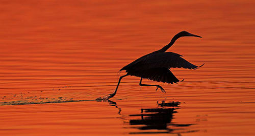 Reddish egret at sunrise