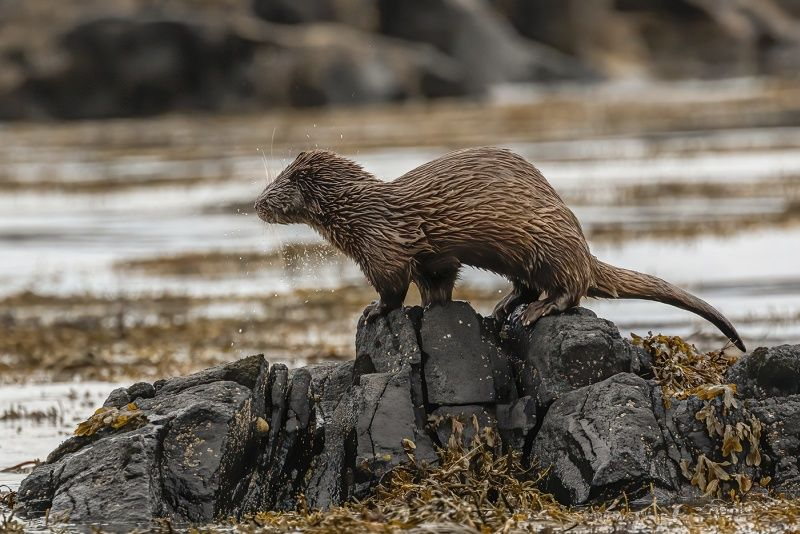 Sea Otter shaking off water by Stephen Lee Second Section A
