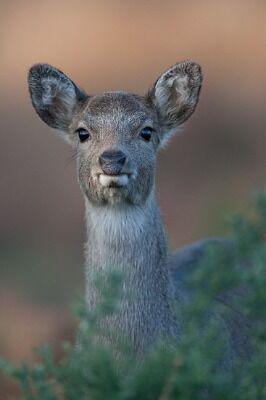 Sika Deer by Tim Downton
