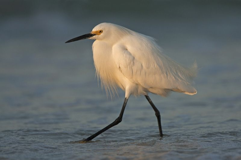 Snowy egret at sunrise by Mary Cantrille