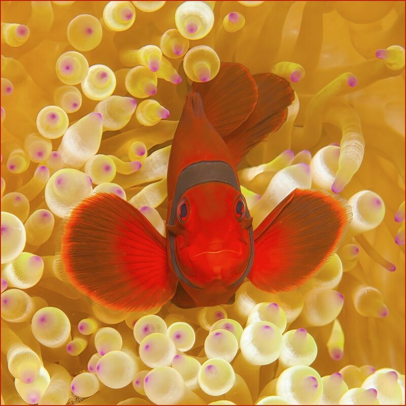 Spiny-cheeked Anemone fish by  Spike Piddock Highly Commended