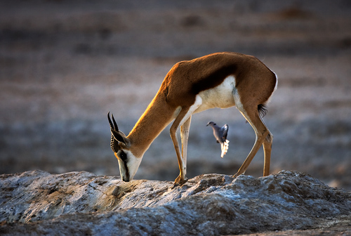 Springbok with Cape Dove by David Cantrille