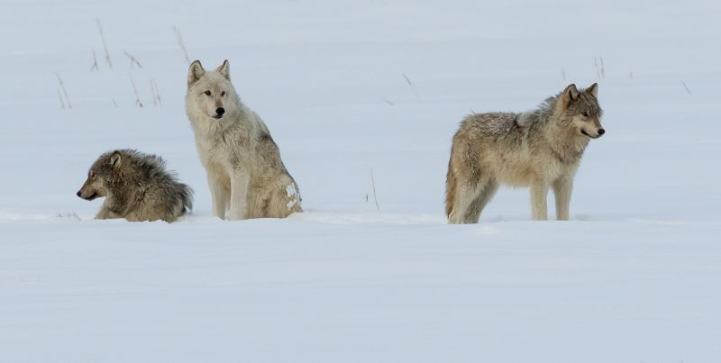 Grey Wolves Yellowstone by Stephen Lee