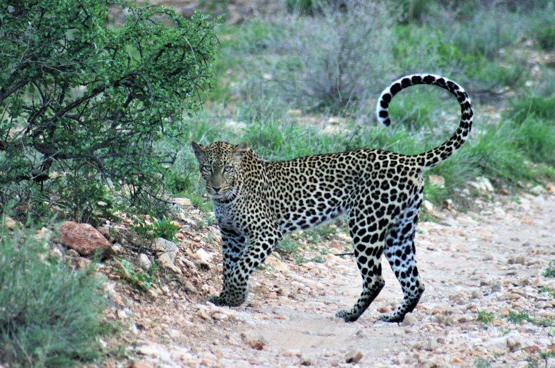 Steve Broadhurst   Leopard at Samburu