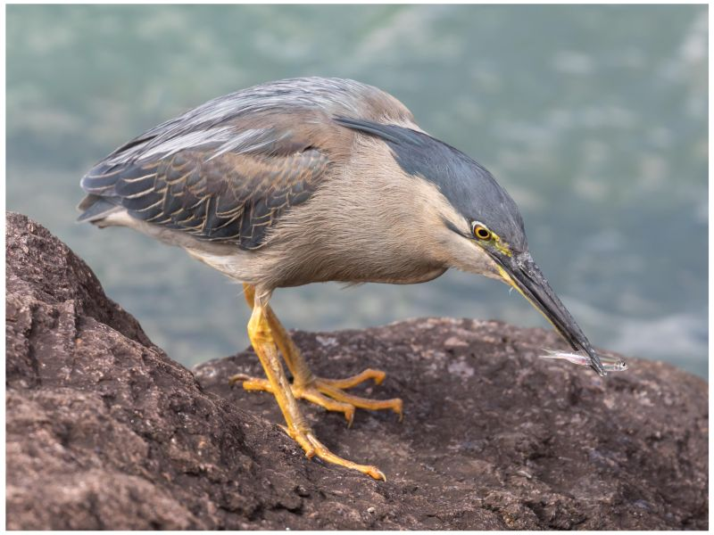 Mangrove Heron with fish by Steve Lord