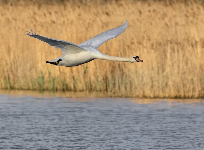 Swan in Flight by Steve Davenport