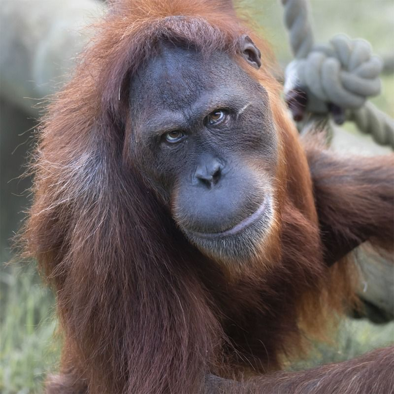The Orangutan's Captive Stare by Steve Lord Highly Commended Section A