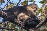 Costa Rica White Face Monkeys by Ivor Toms