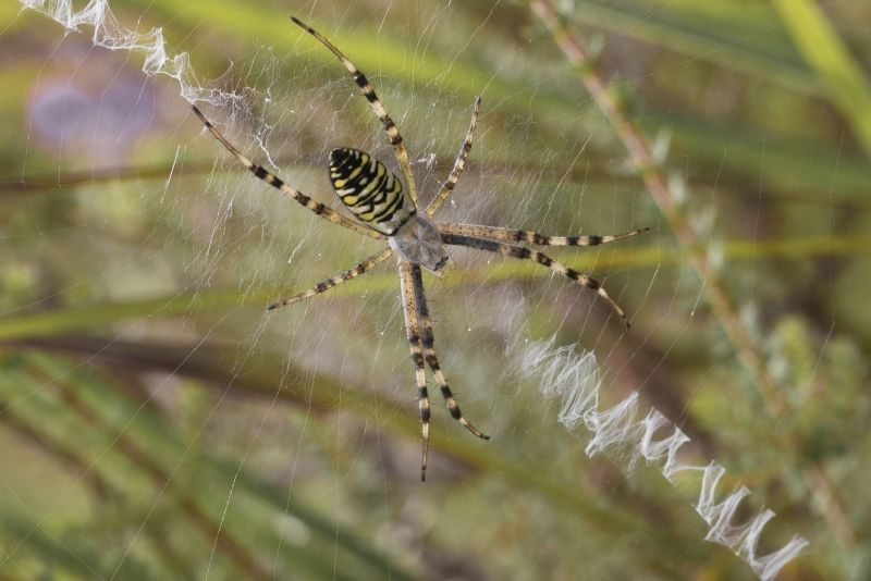 Wasp Spider by Frank Schweitzer