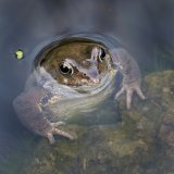 Watching Frog by Carol Tritton