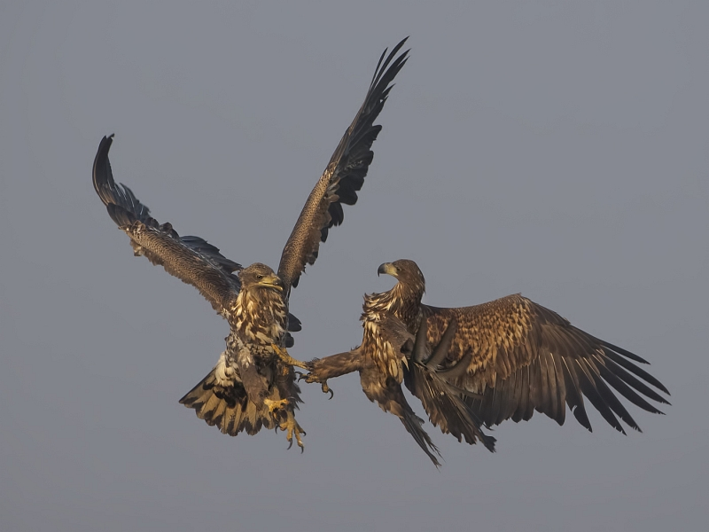 White-tailed Sea Eagles Fighting by Tim Downton