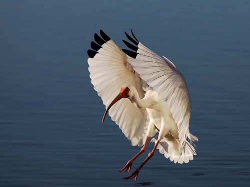White Ibis Landing by David Cantrille