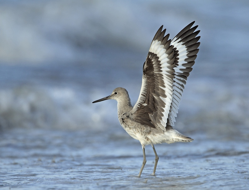 Willet by David Cantrille 2