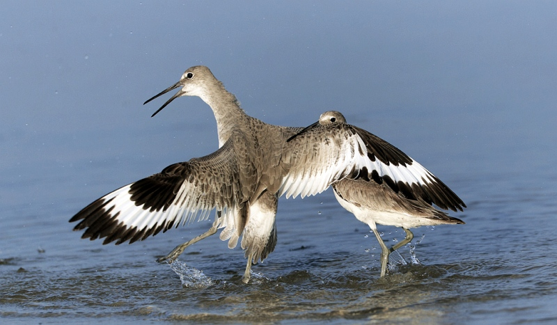 Willet by David Cantrille 3