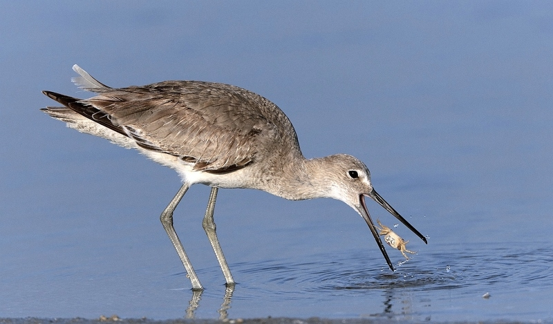 Willet with Crab by David Cantrille