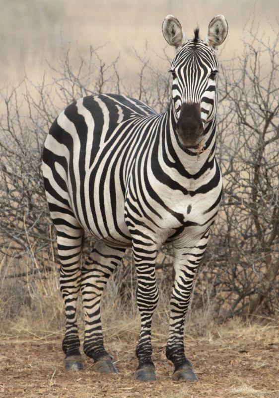 Zebra Amboseli by Phil Whiffing