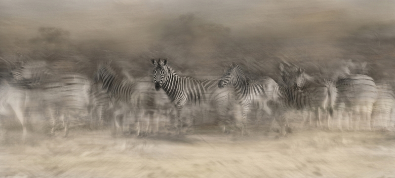 Zebra Dreamtime by Lisa Bukalders