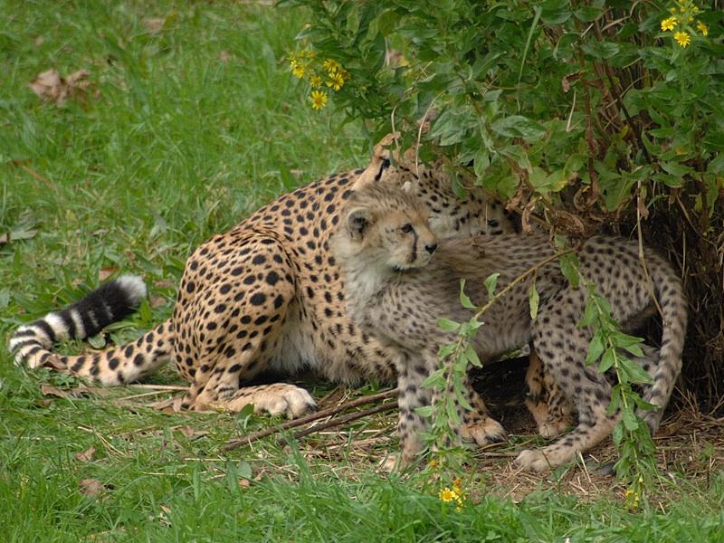 Cheetah and Young