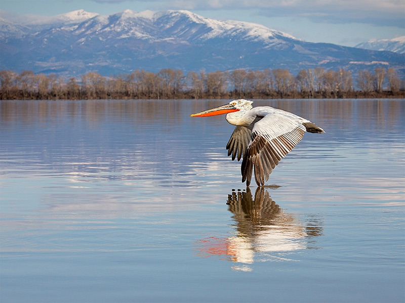 Dalmation Pelican Skimming Lake