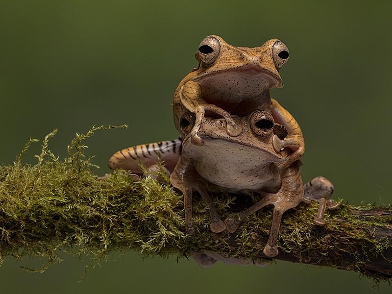 File Eared Tree Frogs
