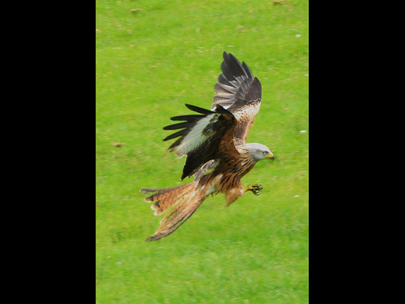 Red Kite Swooping