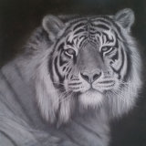 Black and White Tiger Study