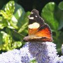 NZButterflies