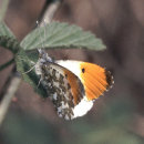 Orange Tip (male)