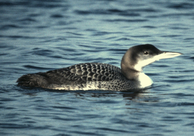 Great Northern Diver (winter)
