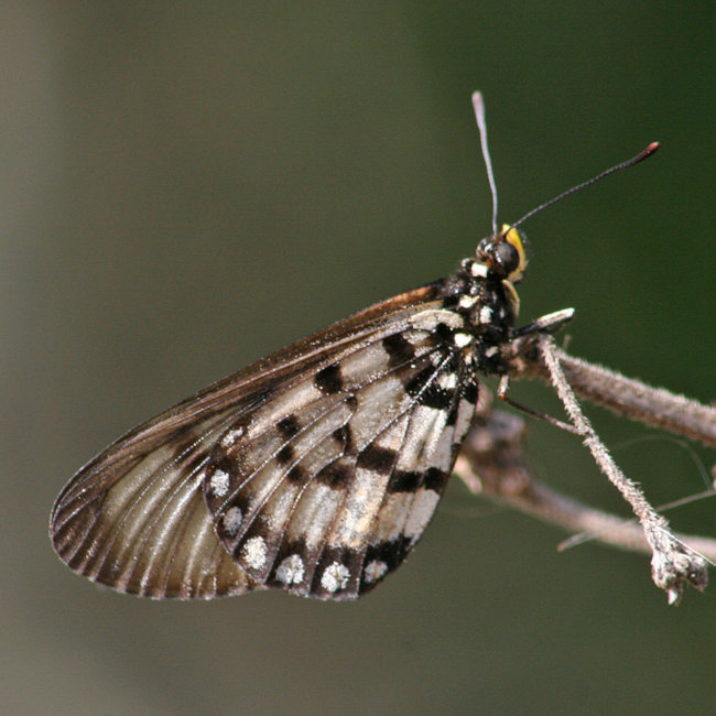 Acraea andromacha - Glasswing