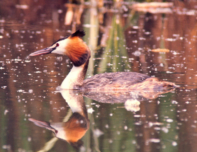 Great Crested Grebe (summer)