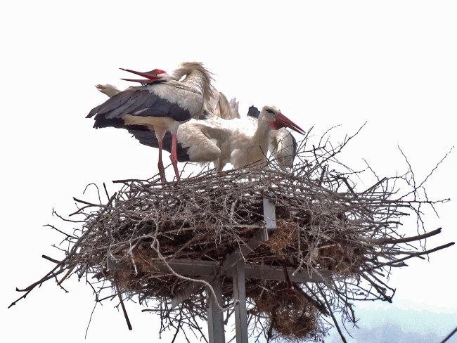 White Stork Greeting