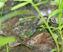 Gynacantha mocsaryi
