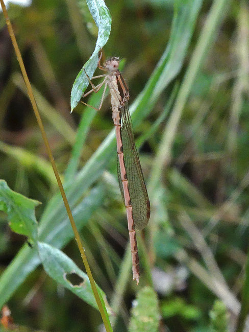 Sympecma fusca (Winter Damselfly)
