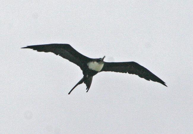 Greater Frigatebird flight