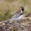 Lapland Bunting (male)