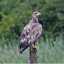 White-tailed Eagle juvenile