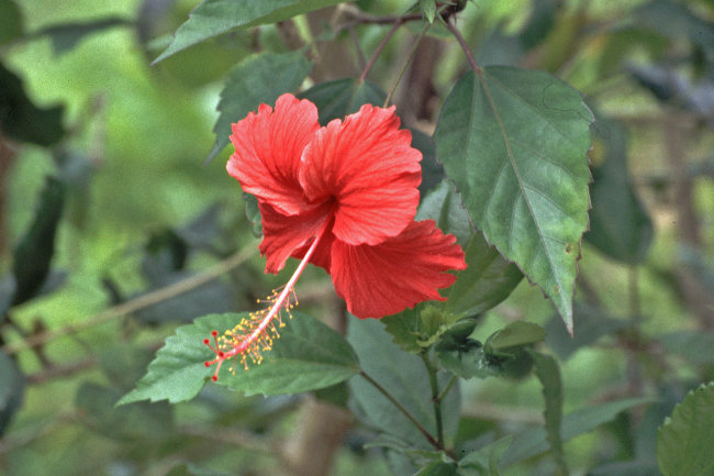Hibiscous