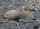 New Zealand Fur Seal and young