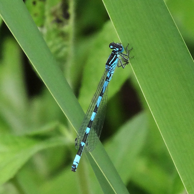 Coenagrion ornatum - Ornate Damselfly