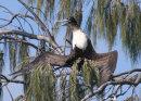 Greater Frigatebird sunning
